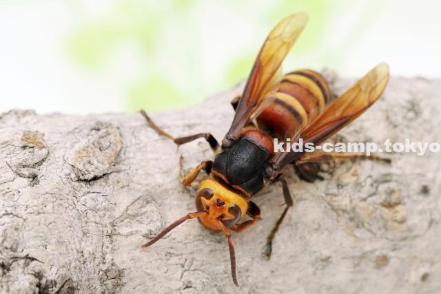 スズメバチ 生態